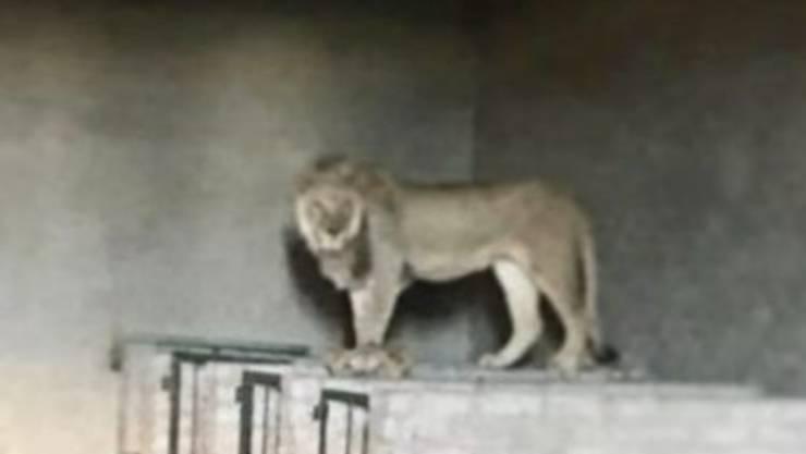 leoni salvati allevamento lager