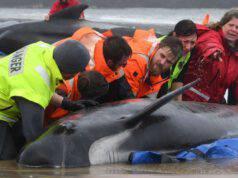 balene australia operazione di salvataggio