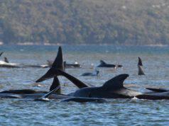 balene spiaggiate australia