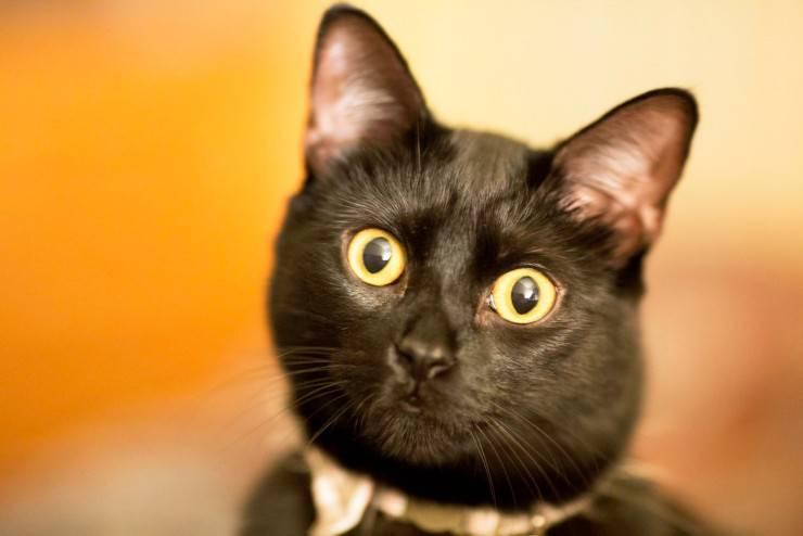 gatto bombay americano nero