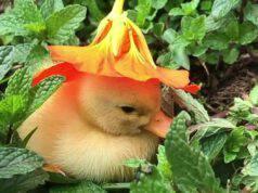 L'anatroccolo e il fiore (Foto Instagram)