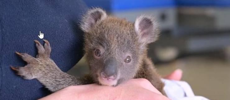koala salvato australia