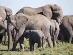 elefanti asiatici