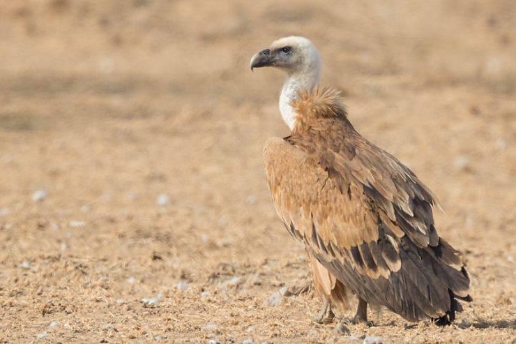 avvoltoio rapace uccello