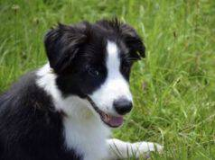 cane border collie prato