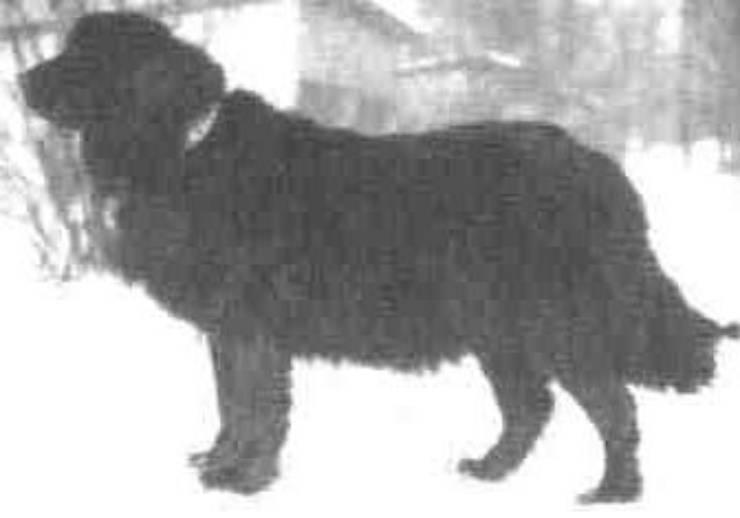 cane da acqua moscovita