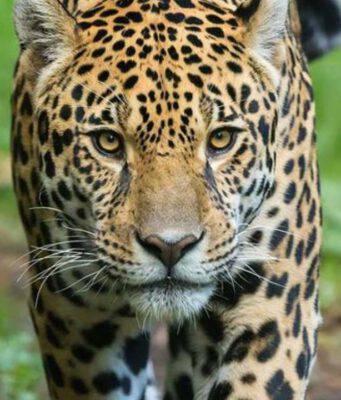 brasile giaguaro incendi