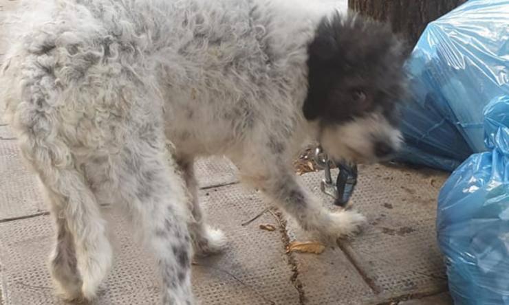 cane lipari intrappolato