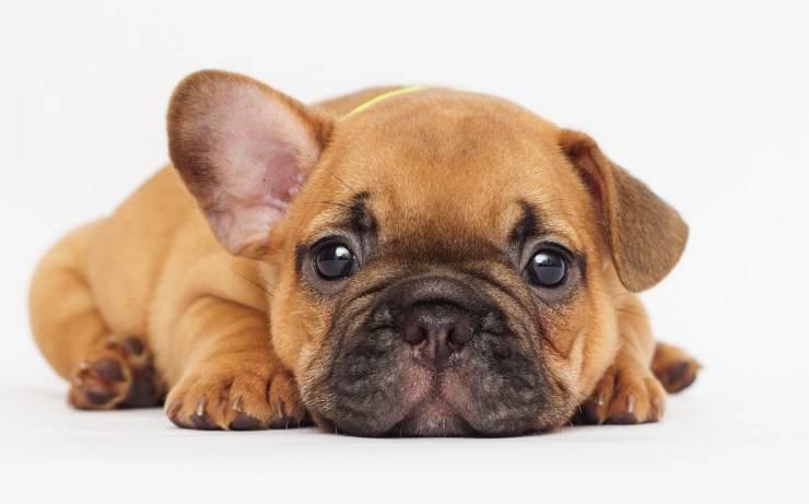 cucciolo cane triste