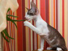 Aloe vera sul gatto