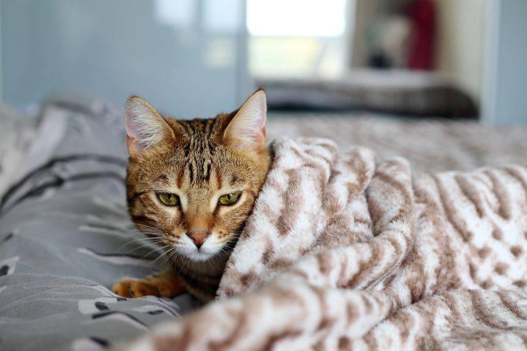 Micio con coperta