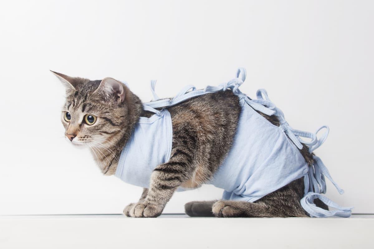 Obbligo sterilizzazione gatto (Foto Adobe Stock)