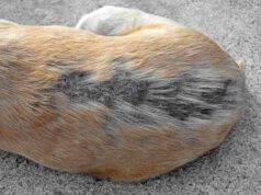 Alopecia nel cane