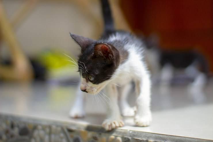 Il gatto ha le zampe posteriori deboli