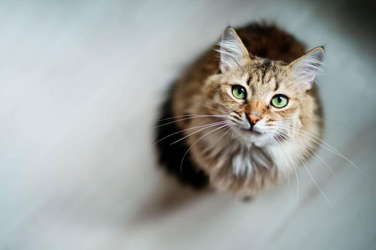 Atrofia progressiva retina gatto