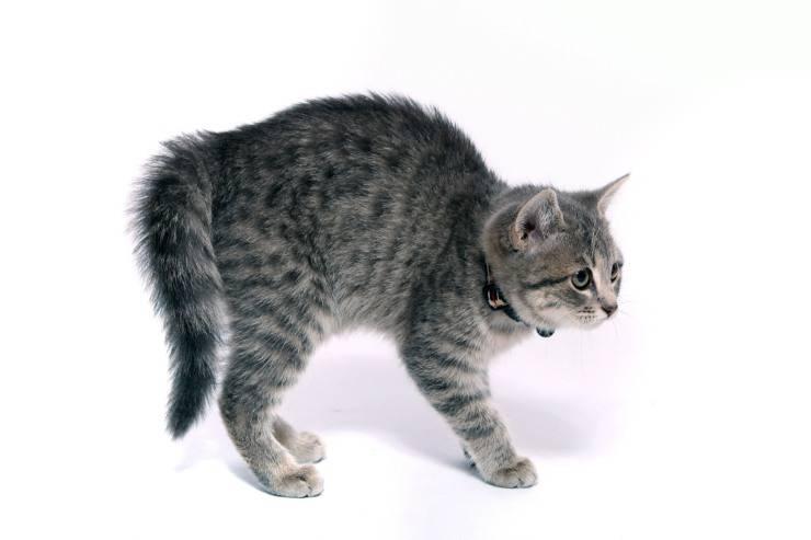 Il gatto fa la gobba e si piega