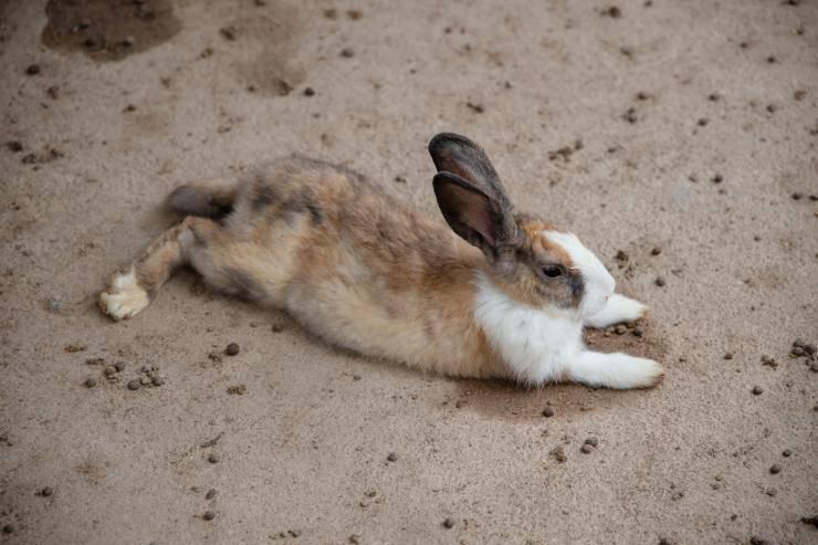 Stitichezza nel coniglio