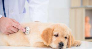 Endometrite nel cane (Foto Adobe Stock)