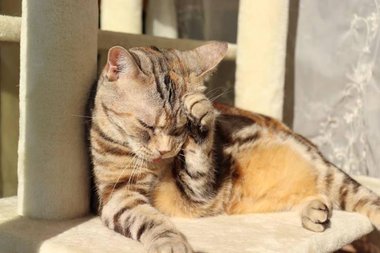 Ipotensione nel gatto