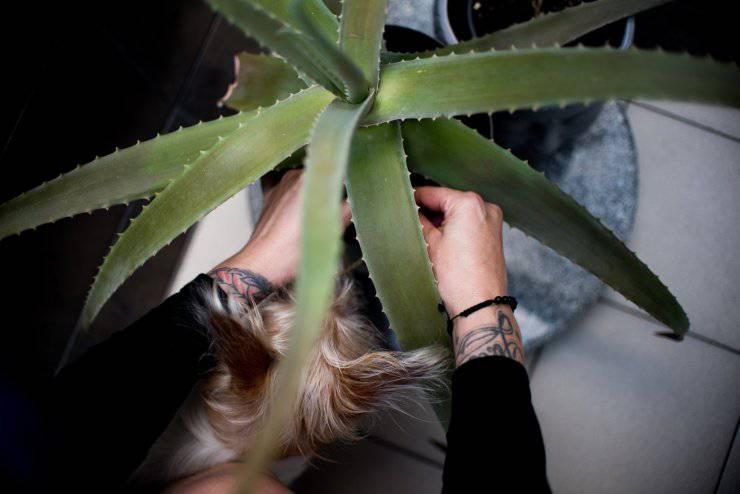 Aloe vera sul cane