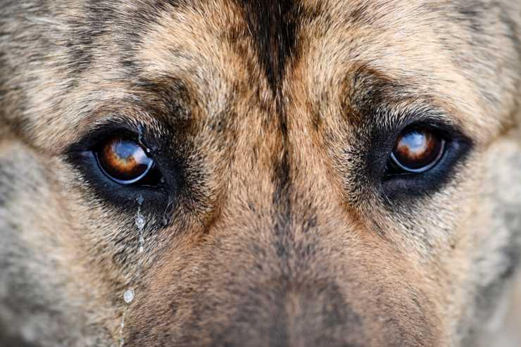 Macchie intorno agli occhi del cane