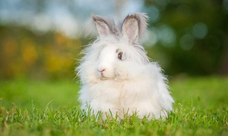Coniglio nano Angora Inglese