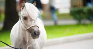 Esemplare di miniature horse
