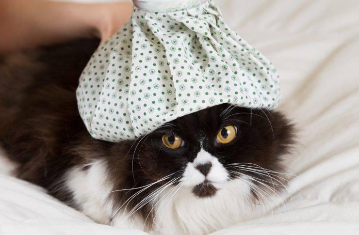 Misurare la febbre al gatto senza termometro