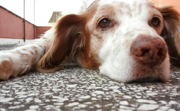 Occhi del cane