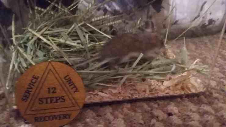 Topolino di campagna mangia foglie di cannabis e accusa un malore (foto Facebook)