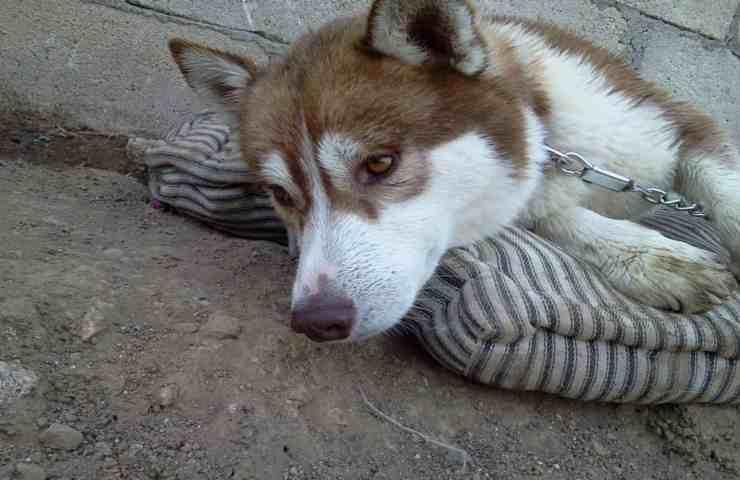 Siberian Husky maltrattato e abbandonato dal suo proprietario (foto Facebook)