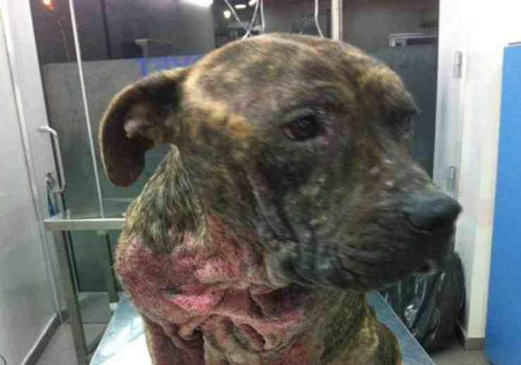 Cani abbandonati con ferite gravi al collo dovute alla rimozione del microchip (foto Facebook)