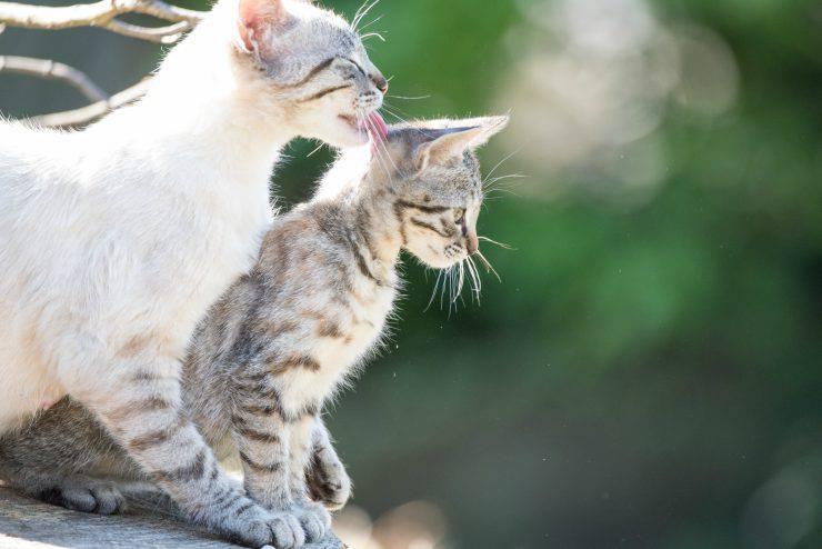 Gatto lecca gatto