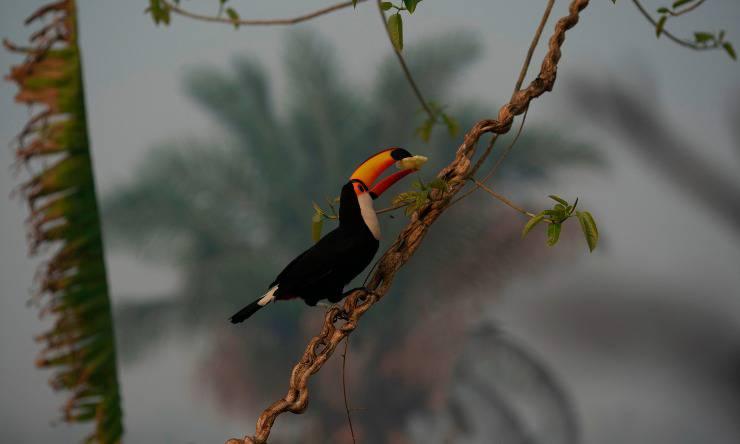 pappagallo pantanal