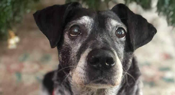 Spillo, il cane scomparso (Foto Facebook)