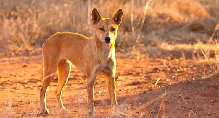 Trovati lontani cugini del Dingo australiano: si tratta dei cani cantanti