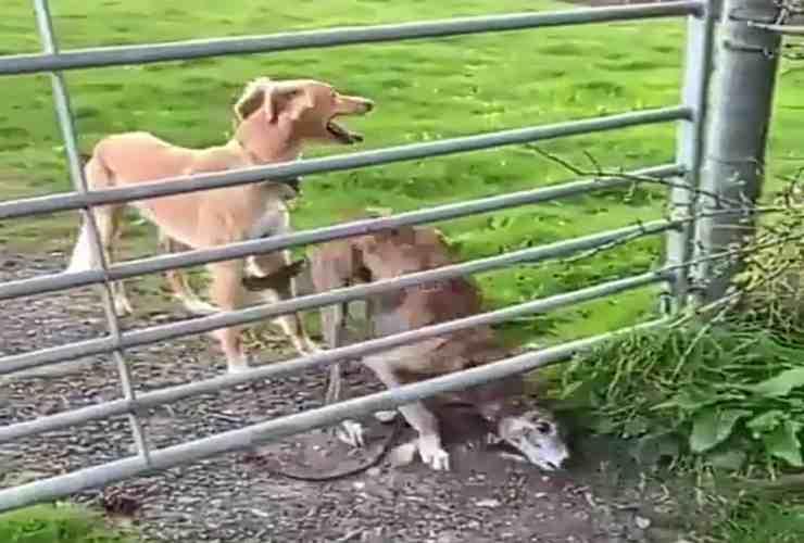 """Il cane oltrepassa la recinzione """"volando"""" (Screenshot Twitter)"""