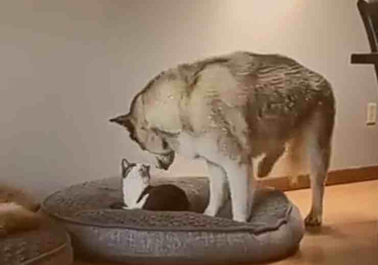 Il gatto ruba la cuccia del suo amico cane: la reazione dell'Husky - (Foto Facebook)