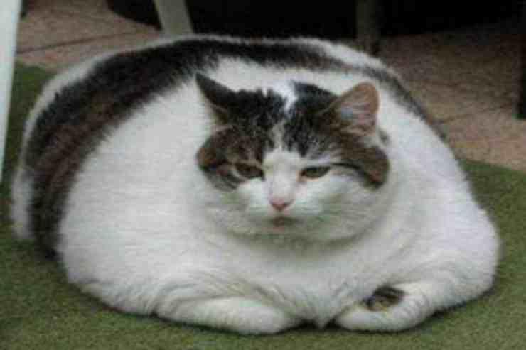 Wilford, il gatto obeso abbandonato dalla sua proprietaria (foto Facebook)