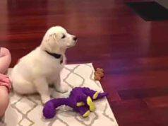 Cucciolo di Golden Retriever ama guardare i cartoni in TV (screenshot YouTube)