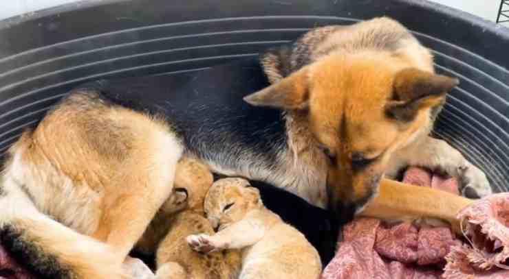 Sandra, il pastore tedesco che fa da balia a due cuccioli di leone (screenshot Instagram)