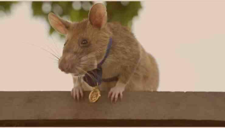 Magawa, il primo topo a vincere la medaglia d'oro (screenshot Instagram)