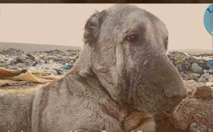 Kratos, il cane che ha sempre vissuto in una discarica (screenshot YouTube)