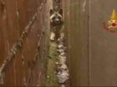 Sascia, l'Akita Inu rimasto incastrato tra due muri (screenshot Facebook)