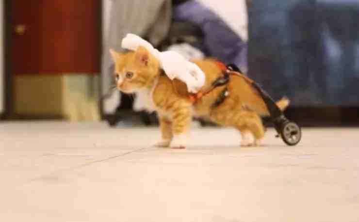 Mac, il gattino paralizzato che ha ripreso a camminare (screenshot YouTube)