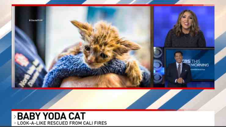 Baby Yoda, il cucciolo di gatto salvato da un incendio in California (foto Facebook)