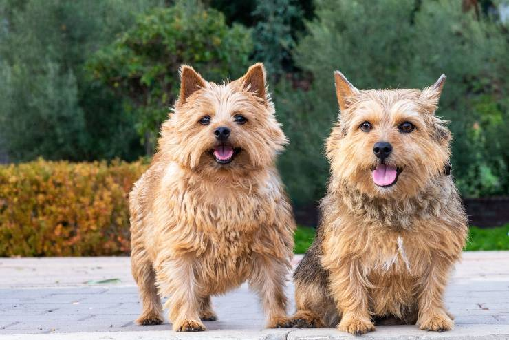 Norwich terrier adulto