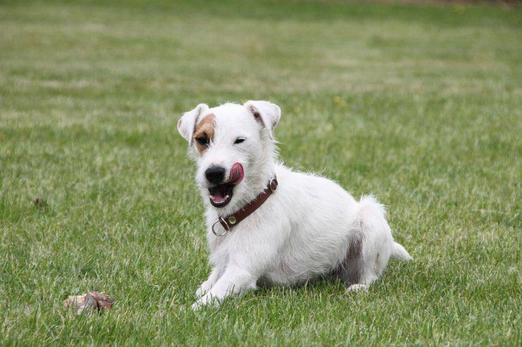 Parson russell terrier adulto