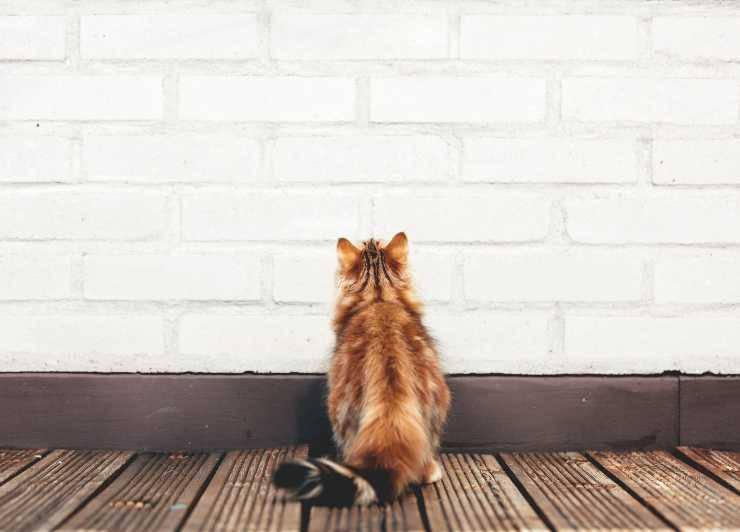 Perché il gatto lecca il muro