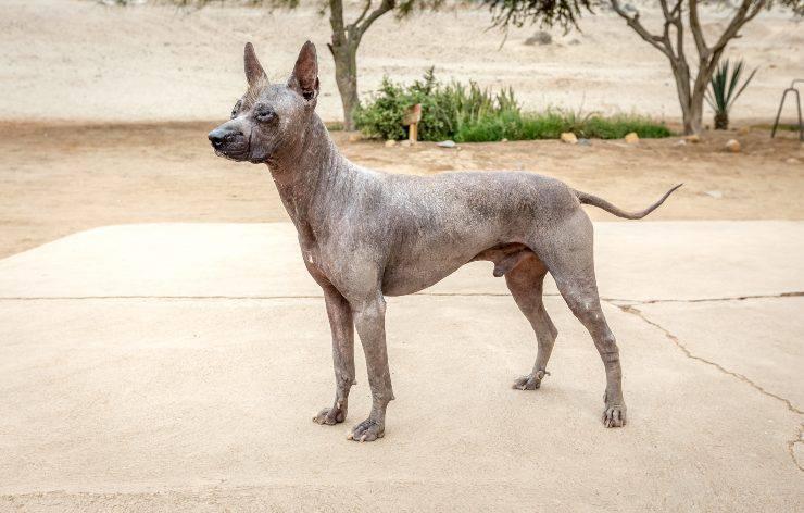 Perro sin pelo del Perù adulto